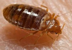 Bedbugs Continue To Plague U.S. Cities And Towns